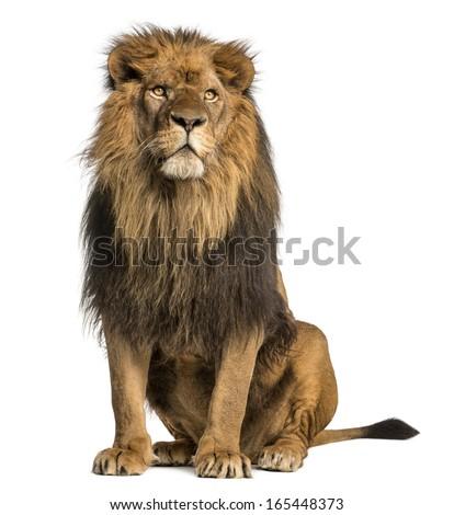 Lion sitting profile - photo#48