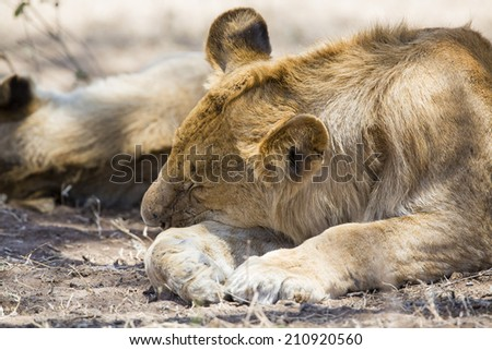 Lion sleeping in Serengeti - stock photo