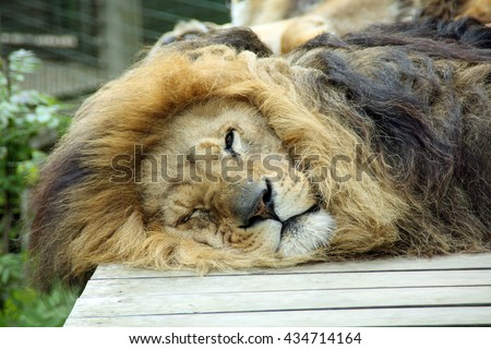 Lion sleeping with one eye open! Relaxing African lion, Panthera Leo, keeping an eye on the camera.