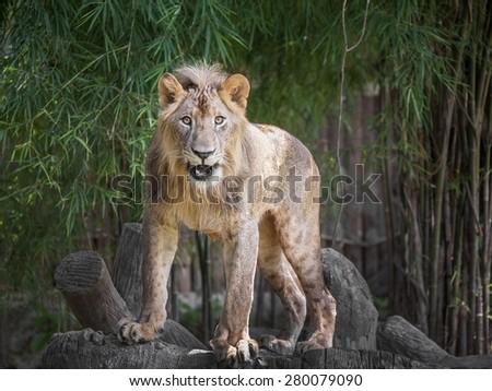 lion smile - stock photo