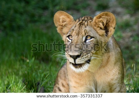 Lion smile face of cub animal