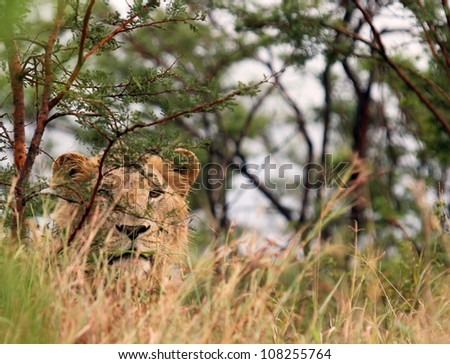 Lion Stalking. A young male lion photographed in Umfolozi/Hluhluwe National Park. Carefully peering through the grass. Looks good converted black & white. - stock photo