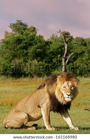 Lion Standing at Dusk - stock photo