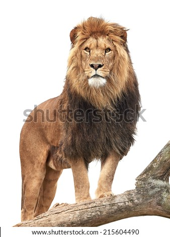Lion standing on a old tree trunk isolated on white - stock photo