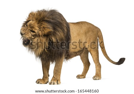 Lion standing, roaring, Panthera Leo, 10 years old, isolated on white - stock photo