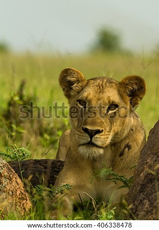 Lion staring intently at the camera - stock photo