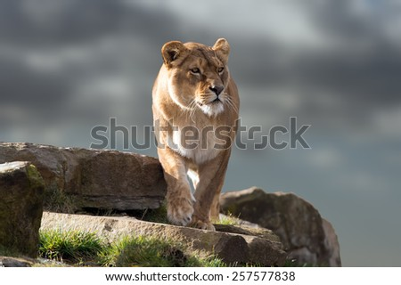 Lion stood on outcrop of rock against stormy sky/Lioness/Lioness (Panthera Leo) - stock photo