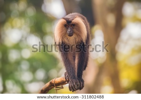 Lion tailed macaque monkey among the tree in jungle - stock photo