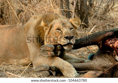 Lion taking a time out from a big feast. - stock photo
