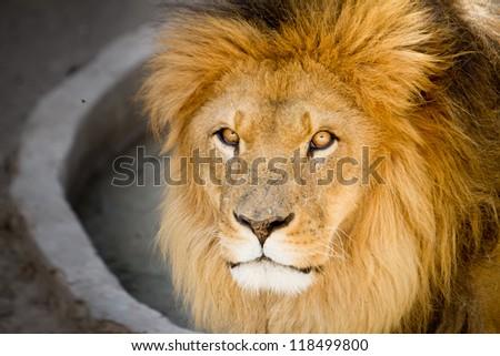 Lion the king - stock photo