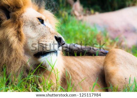Lion the king in safari
