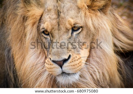 Lion, the king of wild animals