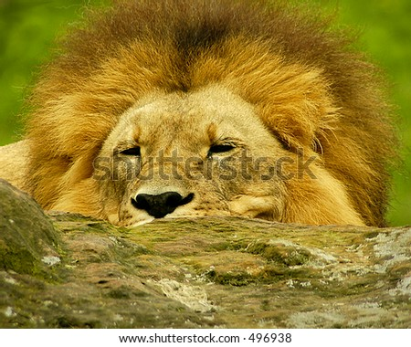 Lion Two - stock photo