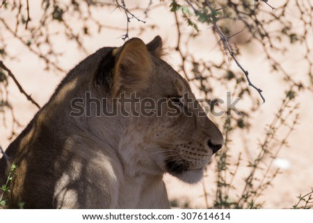 Lion waiting under trees at Kgalagadi Transfontier Park, South Africa - stock photo