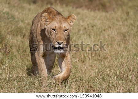 Lion walking in grass