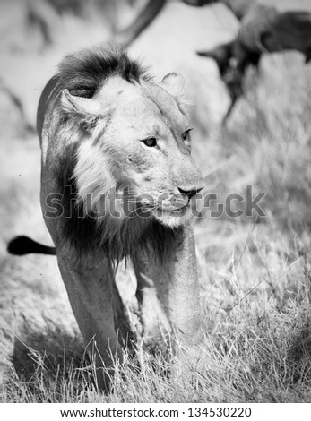 Lion walking in the grass black and white - stock photo