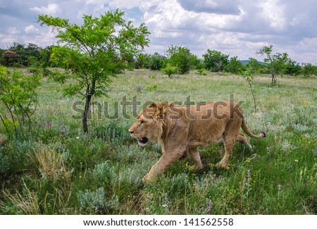 lion walking on the prairie