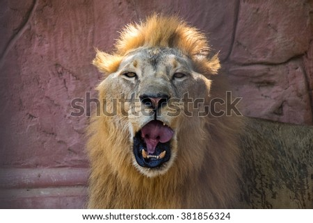 lion were yawn