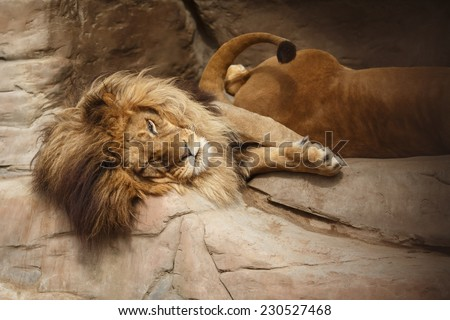 Lion with a big shaggy mane resting on the rocks - stock photo