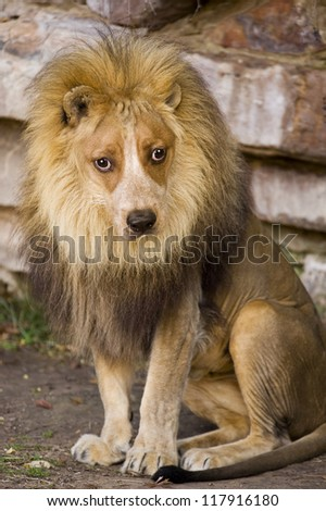 Lion With Doggy Face. - stock photo