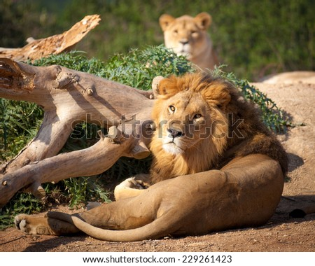 lion with mate looking at camera
