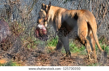 Lion with meat in her mouth