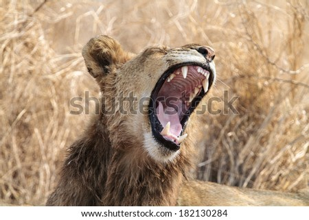 Lion with mouth open yawning. - stock photo