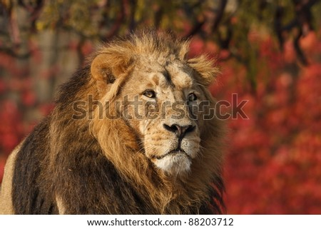 lion with red background - stock photo