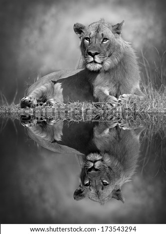 Lion with reflection in the water - stock photo