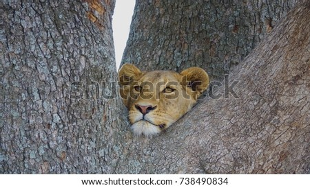 Lion, young male Lion, in a tree, Serengeti, Tanzania