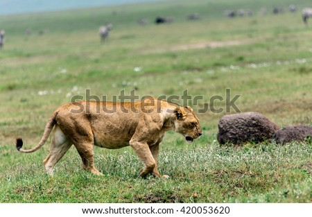 liones in the savannah - stock photo