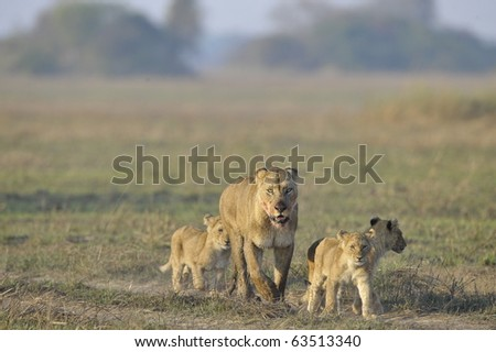 Lioness after hunting with cubs. The lioness with a blood-stained muzzle has returned from hunting to the kids to young lions.