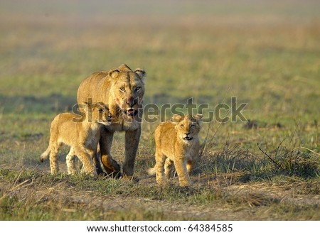 Lioness after hunting with cubs. The lioness with a blood-stained muzzle has returned from hunting to the kids to young lions. - stock photo