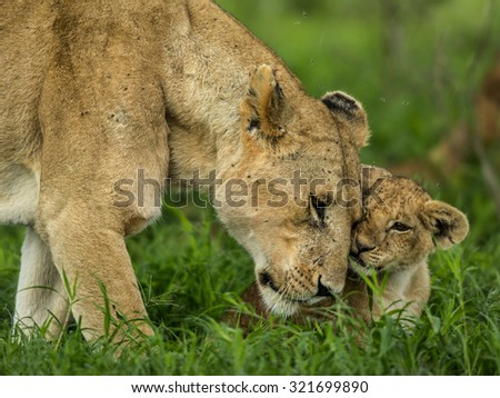 Lioness and cub cuddling, Serengeti, Tanzania - stock photo