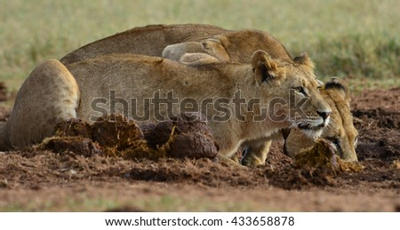 Lioness and cub drinking water - stock photo