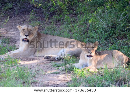 Lioness and Cub in South Africa - stock photo