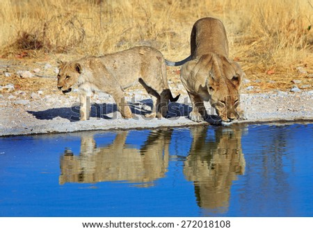 Lioness and Cub next to a waterhole in Ongava Reserve, - Etosha - stock photo
