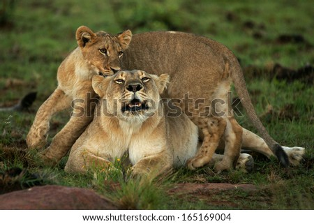Lioness and cub roaring - stock photo