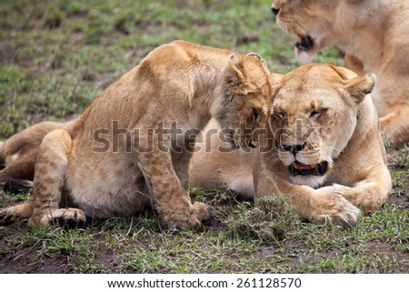 Lioness and cub rubbing heads in Serengeti, Tanzania, East Africa - stock photo