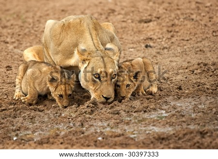 Lioness and cubs drinking - stock photo