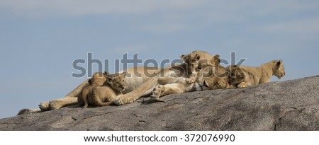Lioness and cubs on granite outcrop in Serengeti Tanzania pano - stock photo