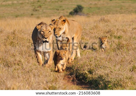 Lioness and cubs walking in the savannah - stock photo