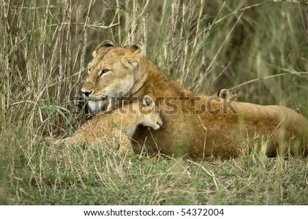 Lioness and her cub, Serengeti National Park, Serengeti, Tanzania - stock photo