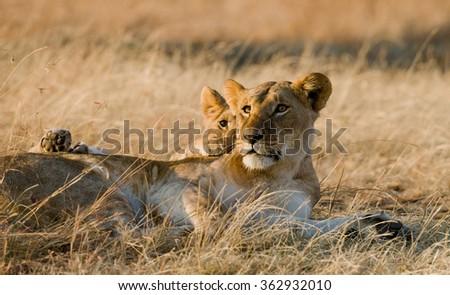 Lioness and her cubs playing with each other in savannah. National Park. Kenya. Tanzania. Masai Mara. Serengeti. An excellent illustration. - stock photo