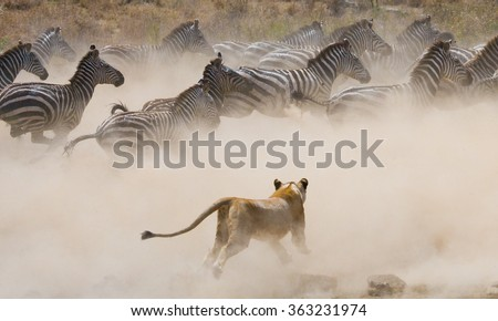 Lioness attack on a zebra. National Park. Kenya. Tanzania. Masai Mara. Serengeti. An excellent illustration. - stock photo