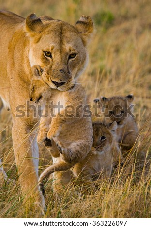 Lioness carries her baby. National Park. Kenya. Tanzania. Masai Mara. Serengeti. An excellent illustration.