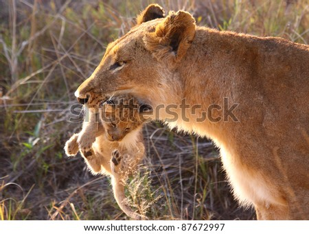 Lioness carrying cub in her mouth - stock photo