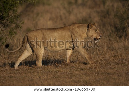 Lioness chasing jackals away from her kill after having fed