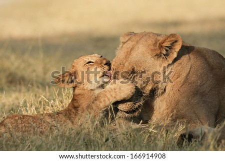 Lioness, cubs - stock photo