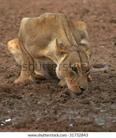 Lioness Drinking. - stock photo